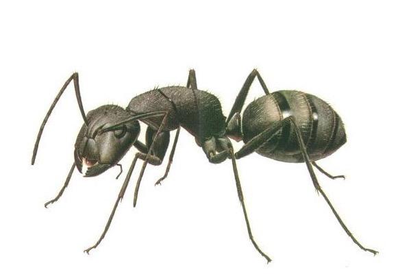 Как избавиться от муравьев, Борьба с садовыми муравьями