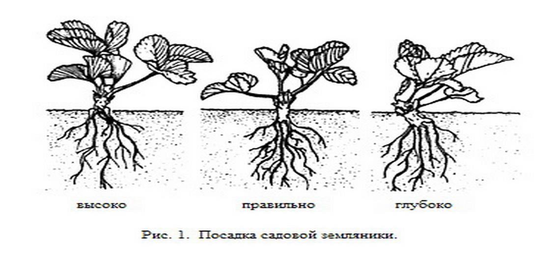 Земляника садовая, Рекомендации по выращиванию