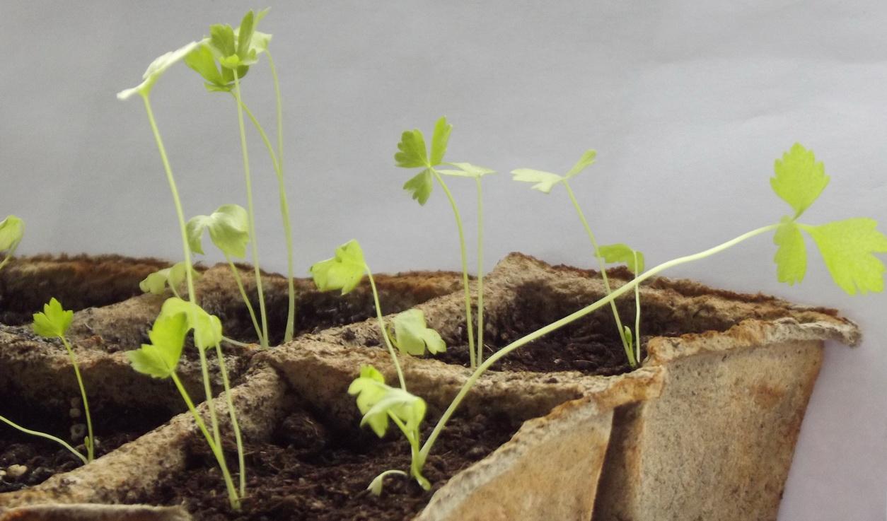 Как вырастить рассаду сельдерей в домашних условиях