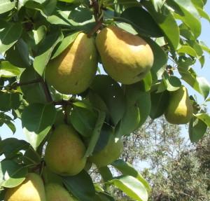 Яблони и другие семечковые, Черноплодная рябина или Арония Мичурина