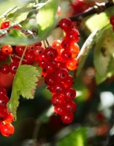 красная смородина, полезная ягода