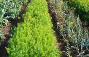 совмесимость растений на огороде и в саду
