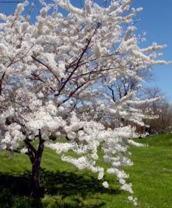 цветущая вишня в саду