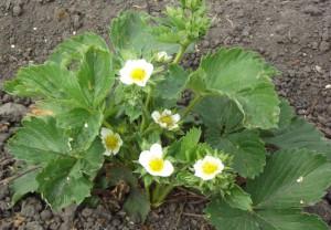 Весенние работы в саду, Уход за земляникой, малиной и смородиной