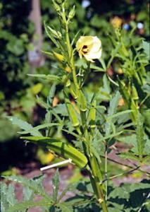 Бамия выращивание для здоровья.