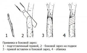 Прививка деревьев и кустарников в раскол и за кору.