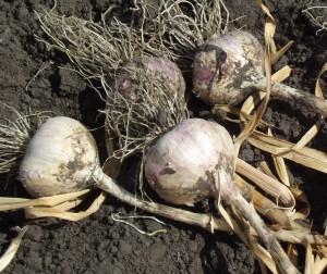 Как хранить чеснок, лук, капусту и другие овощи.