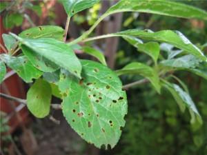 Черешня и вишня, Как спасти черешню и вишню от монилиоза и клястероспориоза