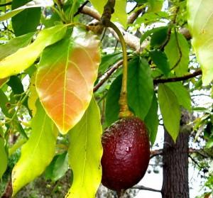 Выращивание авокадо в домашних условиях и в теплице.