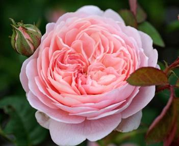 Сорта розы садовой, цветущие до глубокой осени.