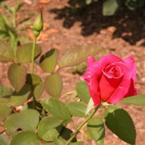 Удобрение для роз. Дефицит калия у розы.