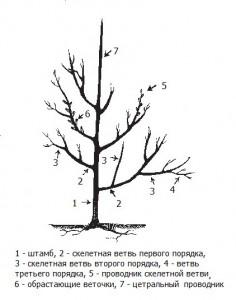 Обрезка плодовых деревьев. Способы проведения и сроки.