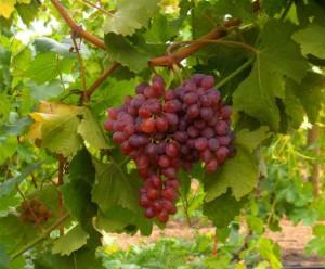 Подготовка винограда к зимовке.