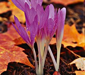 Безвременник, Романтичный король осеннего сада