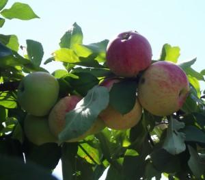 Как выбирать летние сорта яблок для своего сада