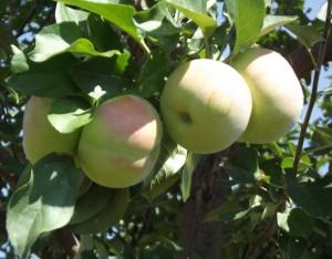 Почему хорошо иметь осенние сорта яблок в хозяйстве?