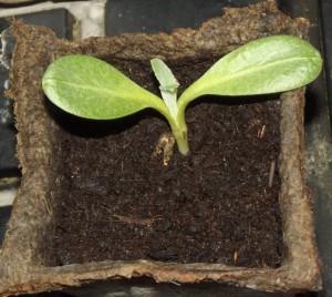 Артишок на грядке, Агротехника выращивания