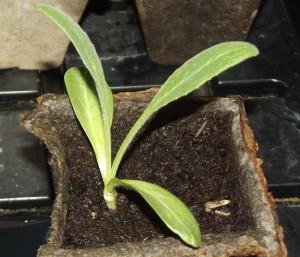 выращивание артишока