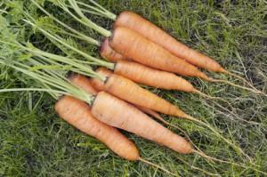 Выращивание моркови, особенности и тонкости процесса
