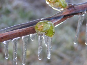 Защита виноградной лозы от весенних заморозков