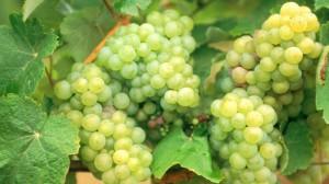 виноград в июле